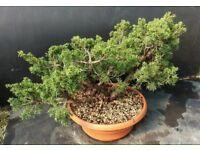 Quality Kishu Juniper Wood/Forest Prebonsai