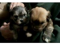 Lhasa Also puppies
