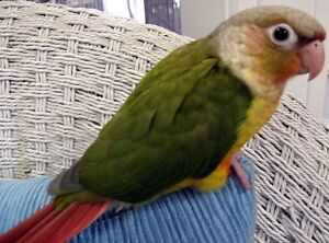 ❤★❤ Adorable,Tame CONURE Babies With CAGE❤★❤ Stratford Kitchener Area image 9