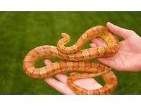 Corn snake free