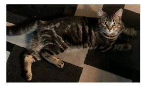 FREE - Cat - to good home - 7 months old male.