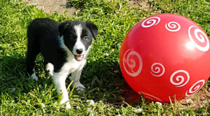 Registered Border Collie Pups for Sale