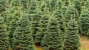 Beautiful NEWFOUNDLAND Christmas trees