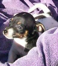 BLACK AND WHITE TRI MINI FOXIE FEMALE PUP Somerset Area Preview