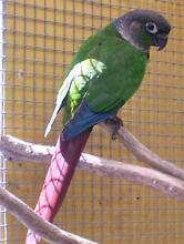 GREEN CHEEKED CONURE MALE SPLIT TO BLUE & YELLOWSIDED PROVEN Margate Redcliffe Area Preview
