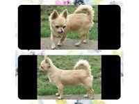 Cream chihuahua boy puppy