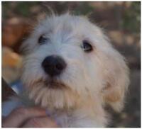 """Baby Male Dog - Schnauzer-Chihuahua: """"Buddy"""""""