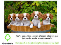 Pedigree Cavalier King Charles Spaniel Puppies -- Read the description before repling to this ad!!