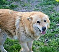 "Senior Female Dog - German Shepherd Dog: ""Cora"""