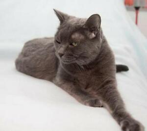 """Senior Female Cat - Domestic Short Hair: """"Tia"""" Downtown-West End Greater Vancouver Area image 2"""
