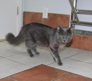 """Young Female Cat - Domestic Long Hair-gray: """"Gypsy"""""""