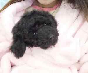 pure breed black mininature poodle boy for sale Glendale Lake Macquarie Area Preview