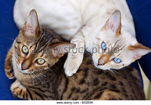 Looking for: Snow Bengal and Brown Bengal kittens