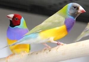 Gouldian Finch Pair