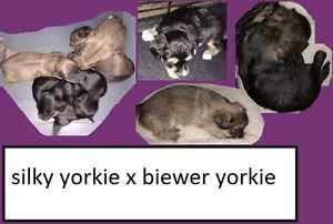 5 yorkie puppies for sale