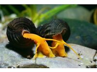 Orange poso rabbit snail
