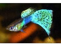 "Endler's-Guppy Fish ""BLUE GRASS"" x ""JAPAN BLUE"" (RARE) Guppies"