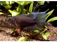 Black Paradise Fish for sale