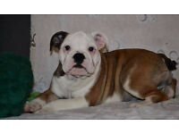 English Bulldog puppy now ready for rehoming