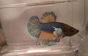 Dumbo Ear/Elephant Ear Betta Fish London Ontario image 1