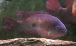 Blue Eyed Cichlid for sale Bring your own pail ! Best Offer !!!