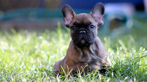 Top Quality french Bulldog Puppies Oakville / Halton Region Toronto (GTA) image 8