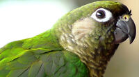 3 year old male Maroon Belly Conure - Miller