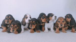 Full breed Basset Hound Puppies for Sale