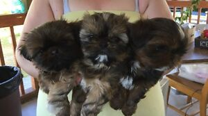 Puppies Shih Tzu For Sale
