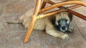 Male Wheaten Terrier