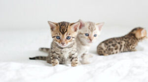 Snow and Brown Bengal Kittens - TICA Registered