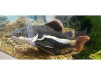 Large Red tail catfish tropical fish