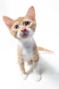 Lily rescue kitten SK2649 VET WORK INCLUDED