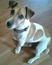 Lost Jack Russell,male,Tan and white,11/12 years old West Perth Perth City Preview