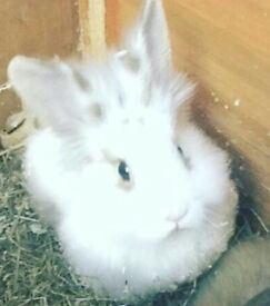 White lion head male rabbit 1 yr old