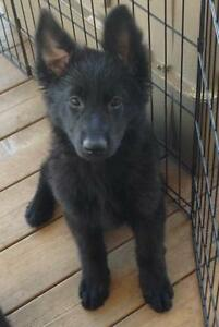 SOLID BLACK FEMALE GERMAN SHEPHERD PUPPY