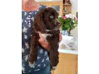 Two Lovely Chocolate Cockapoo Puppies