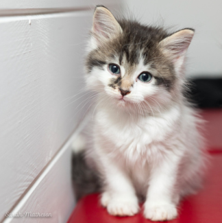 Suki rescue KITTEN to adopt VET WORK INCLUDED