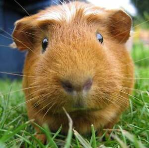 Boarding for guinea pig - all included