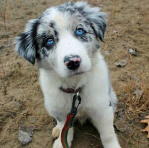 Border Collie Blue Merle or Black and White