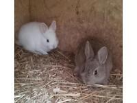 2 cute baby Netherland dwarf rabbits