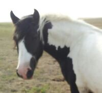 Horse: Beautiful Big Black & White Gypsy Vanner Filly for Sale