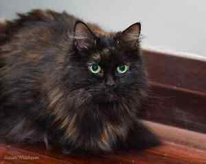 Maggie rescue kitten VET WORK INCLUDED Bayswater Bayswater Area Preview