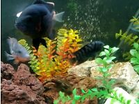 Convict Cichlid for sale