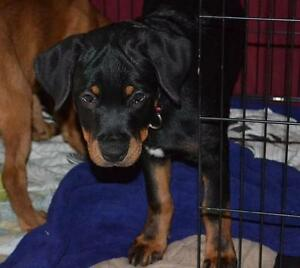 """Young Male Dog - Rottweiler-Boxer: """"L.J."""""""