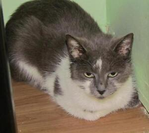 "Young Male Cat - Domestic Short Hair - gray and white: ""Ike"""