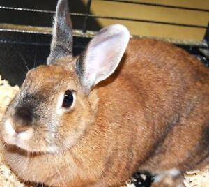 "Adult Female Rabbit - Bunny Rabbit: ""Bella"""