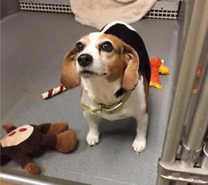 """Adult Female Dog - Beagle: """"Snickers"""""""