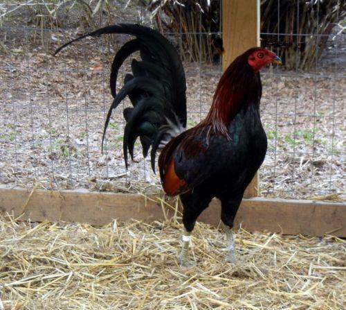 Hatch Village gamefowl Farm