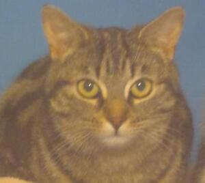 """Adult Female Cat - Tabby (Brown): """"Chanel"""""""